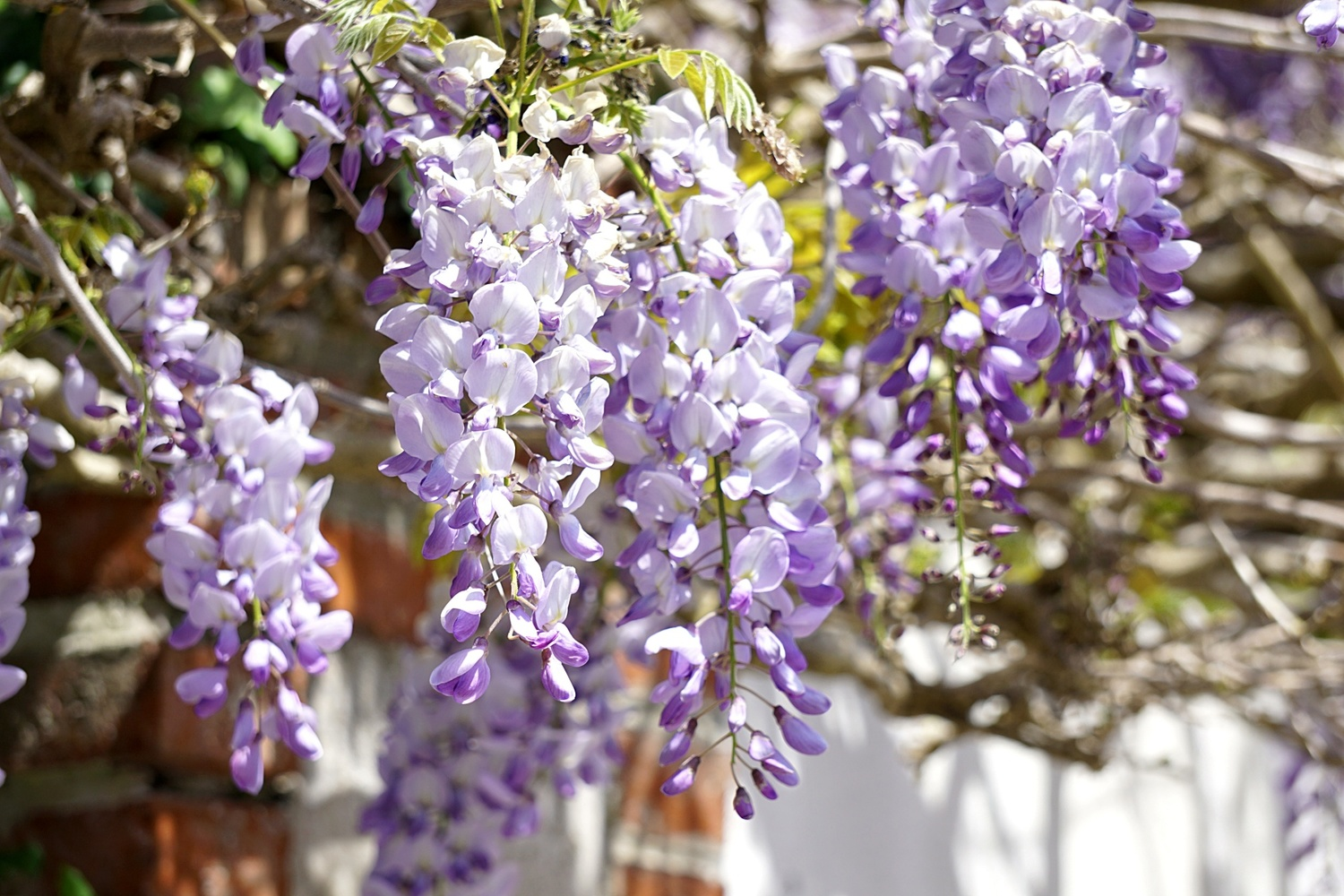 <p>Summer pruning your Wisteria&nbsp;</p>
