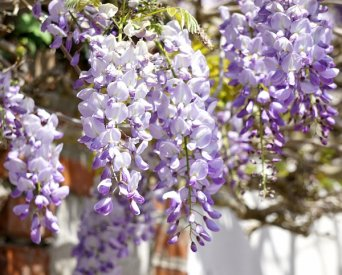 Summer pruning your Wisteria
