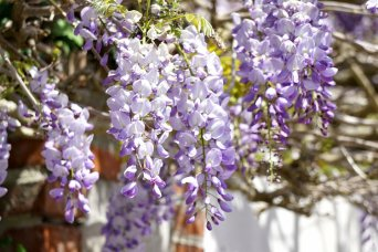 <p>Summer pruning your Wisteria </p>