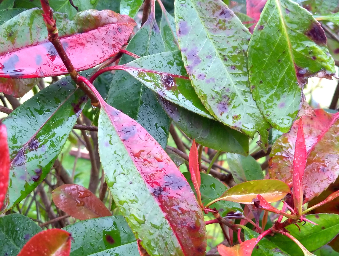 Pests & Diseases - Photinia Leaf Spot